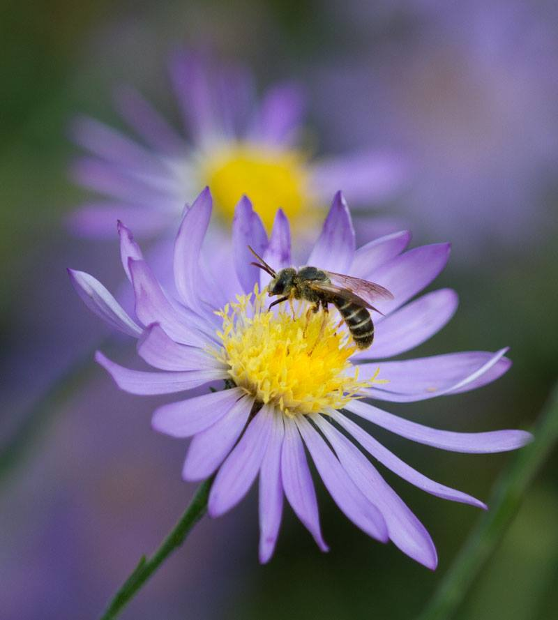Sweat bee on American clasping aster.