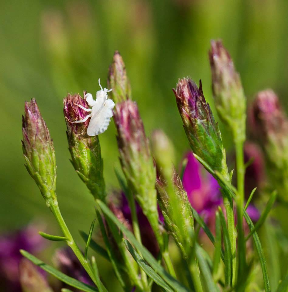 Ambush bug nymph on threadleaf ironweed.