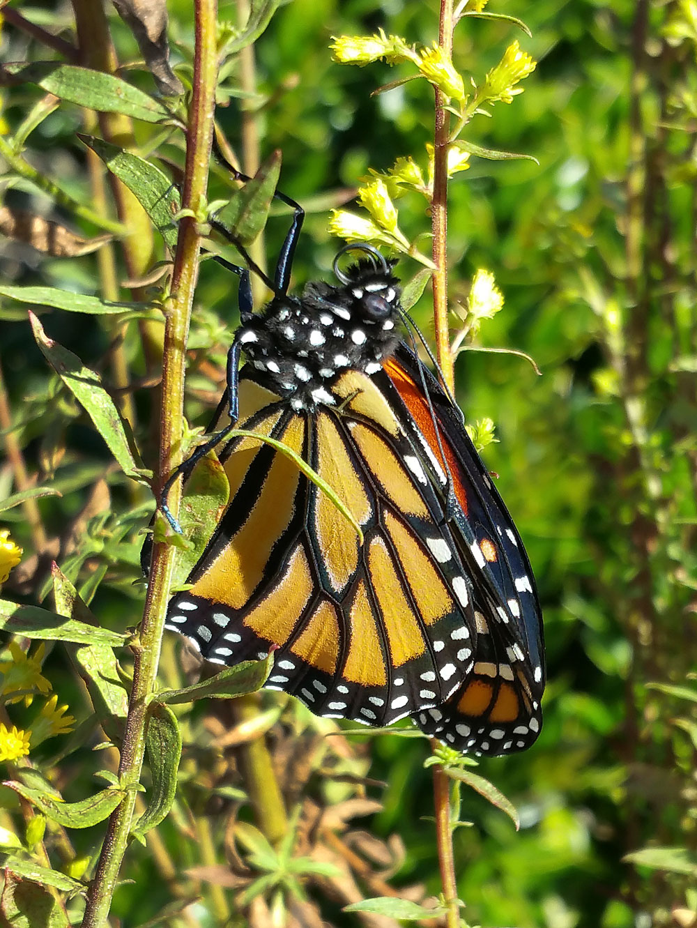 Here's the monarch that emerged one day later from the chrysalis pictured above.