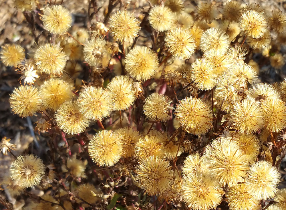 The late November chubby seedheads of Maryland golden aster (Chrysopis mariana) are as golden as the blooms!