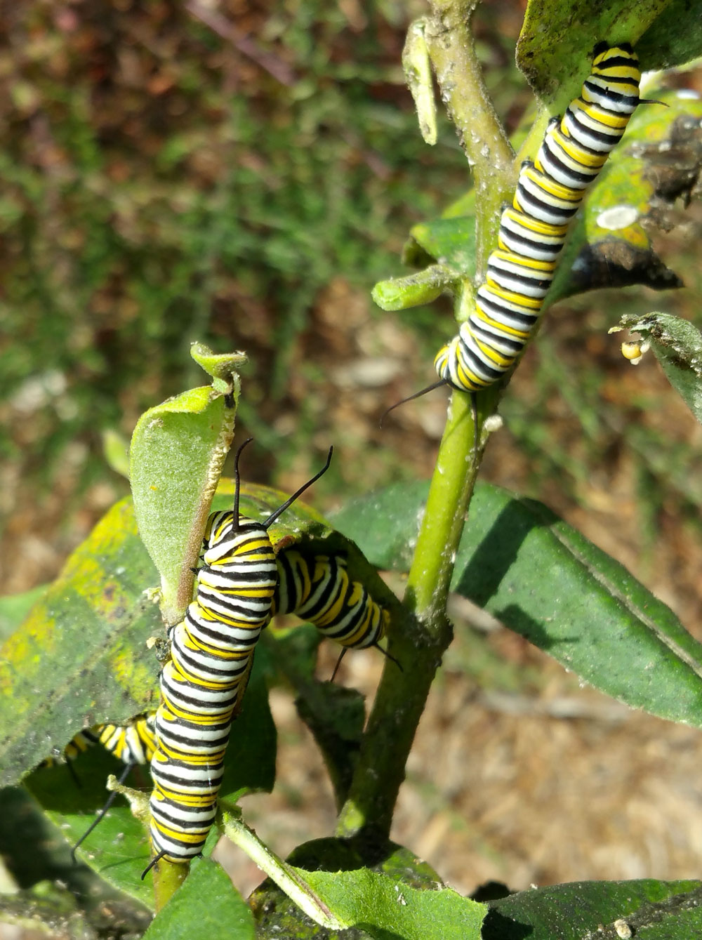 Monarch caterpillars on common milkweed (Asclepias syriaca) in mid-September.