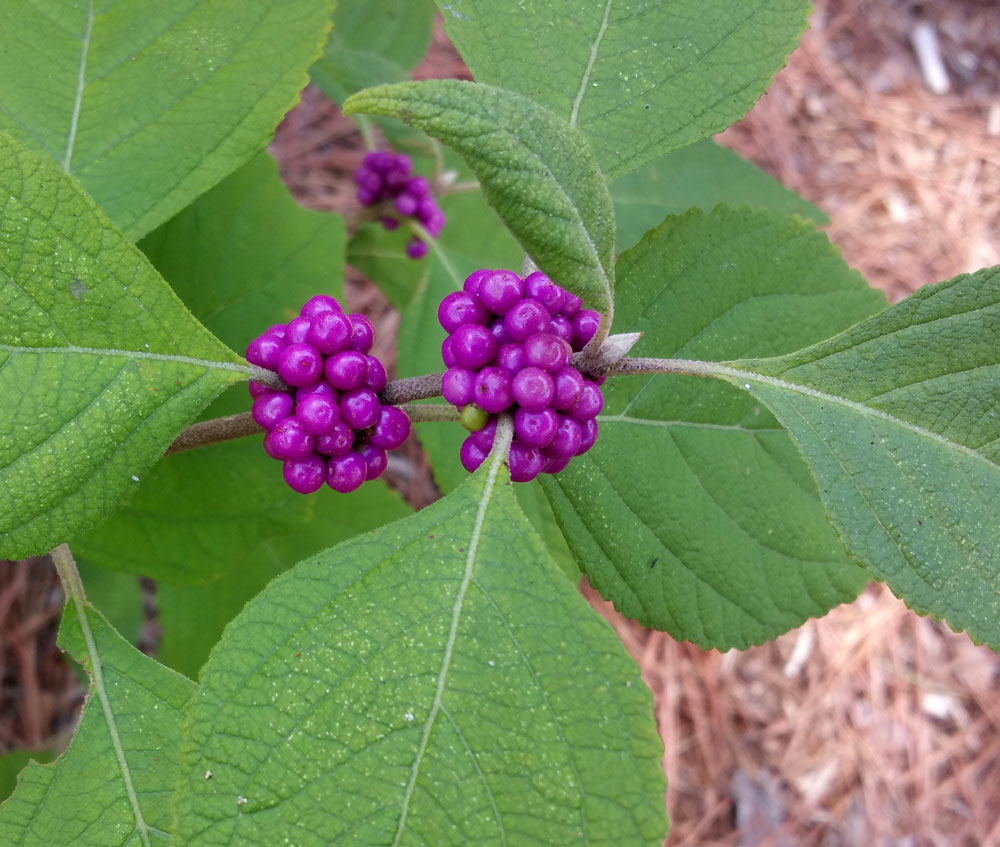 You know fall is here when American beautyberries purple up!