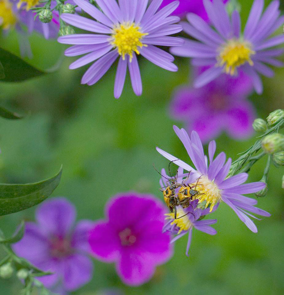 Soldier beetles enjoying the smooth aster (Symphyotrichum laeve 'Bluebird) and perennial geraniums in late September.
