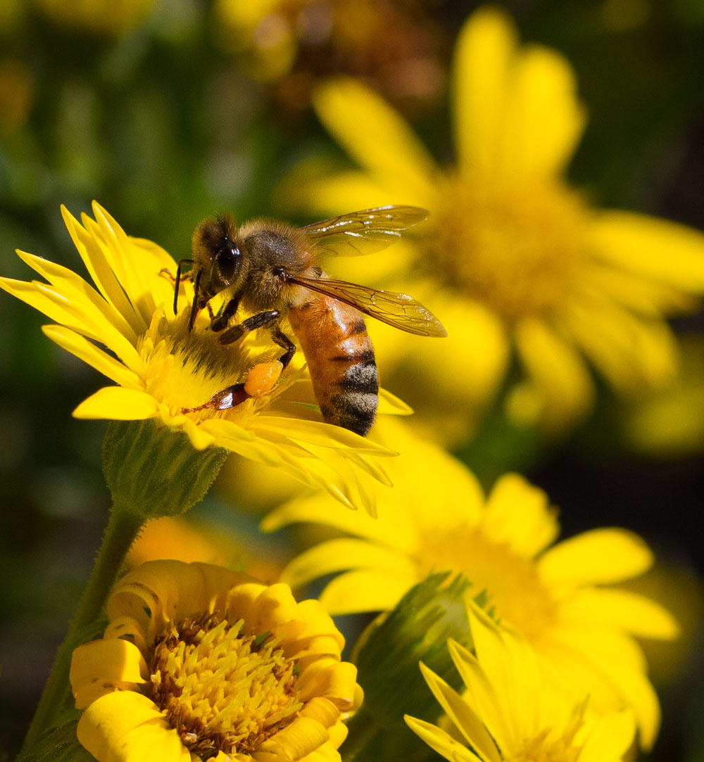 Honey bee on Maryland golden aster (Chrysopis mariana).