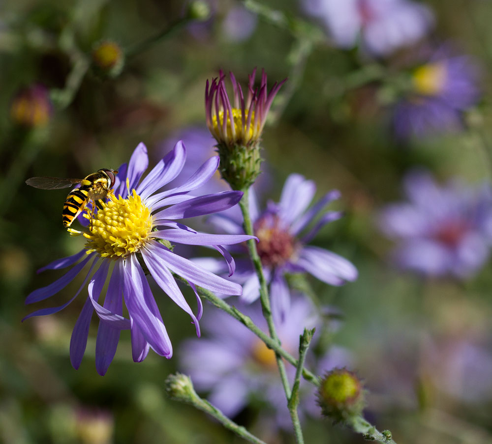 Syrphid fly on American clasping aster (Symphyotrichum patens) in the pollinator garden in mid-October.