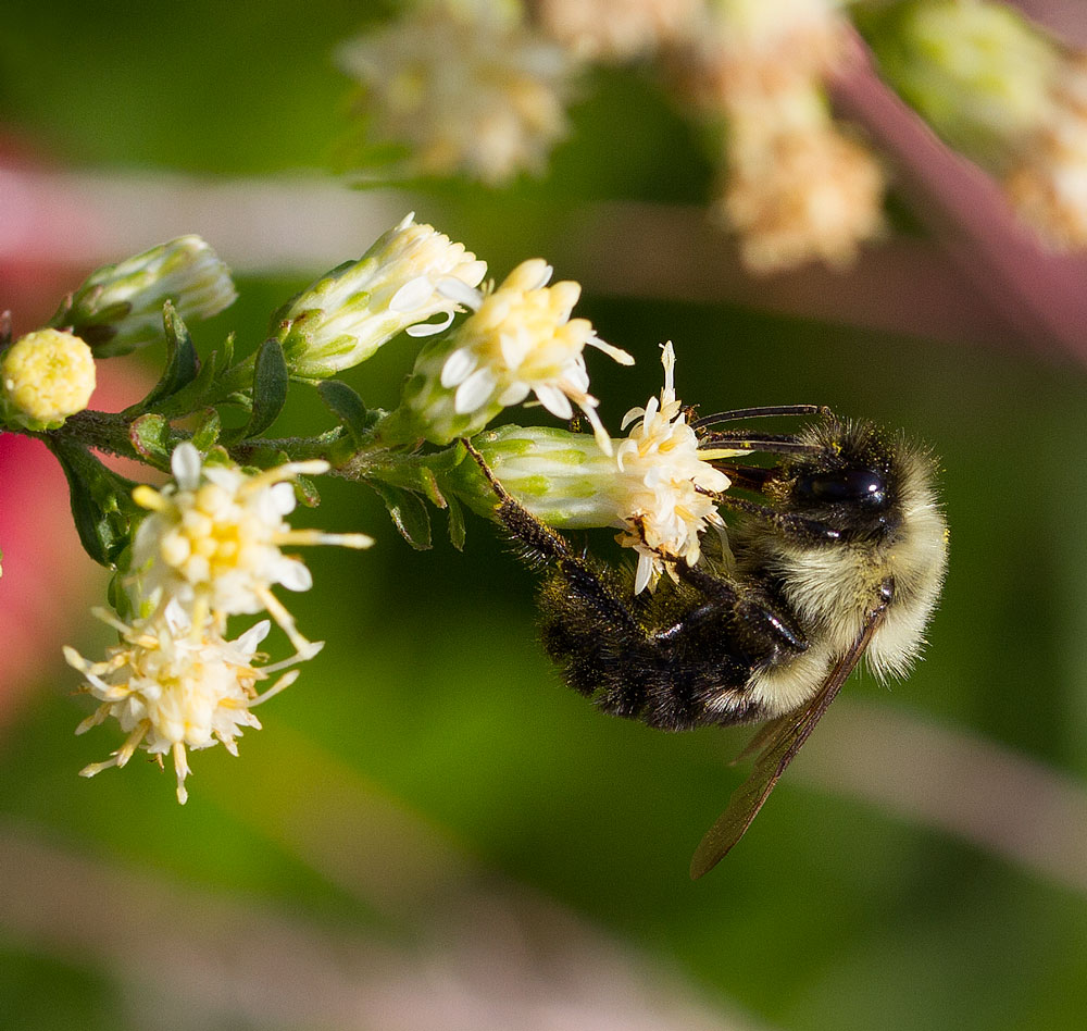 Bumble bee foraging on white goldenrod (Solidago bicolor) in the pollinator garden in late October.