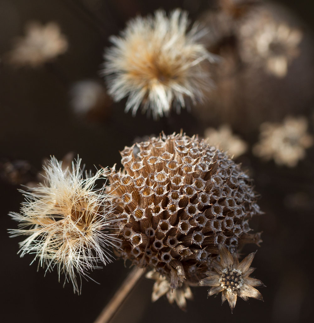 Gorgeous seedheads of bee balm and ironweed.