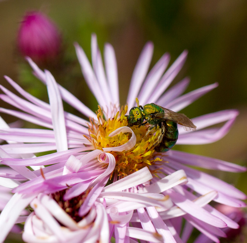 Metallic green sweat bee on climbing aster (Ampelaster carolinianus) in late November.