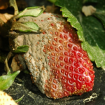 Botrytis gray mold symptoms on ripe strawberry  Photographer F.J. Louws