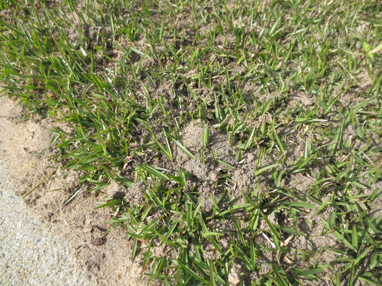 What Causes Tiny Mounds Of Soil In My Lawn North Carolina