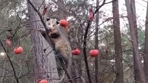 Opossum on a Persimmon tree Image by Lucy Bradley CC-BY-NC