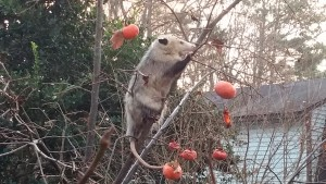 Opossum in a Persimmon tree - image by Lucy Bradley CC-BY-NC