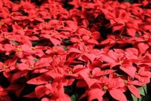 Poinsettia-400x266