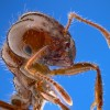 Solenopsis invecta - Fire Ant Worker