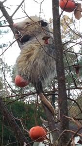Opossum in persimmon tree