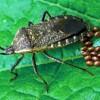 Squash bug female and eggs Photograph courtesy of ESA