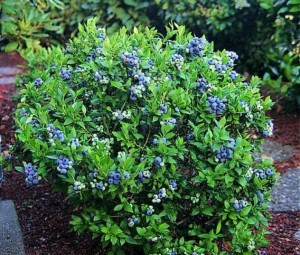 blueberry landscaping