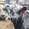 bulls_in_snow