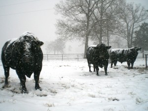 snow and livestock