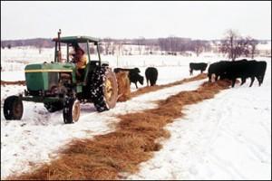 winter hay feeding