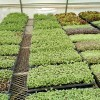 Picture of a flat of seedling transplants.