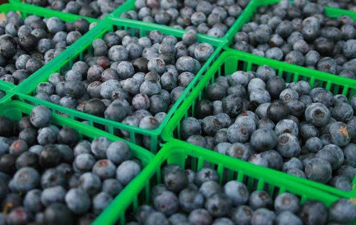 harvested blueberries
