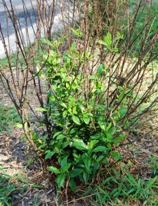 Gardenia with new shoots