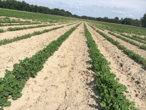 Figures 10. Peanut planted May 27 with image recorded June 24