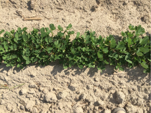 Figures 11. Peanut planted May 27 with image recorded June 24
