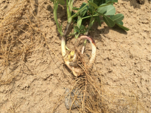 Figure 5. Herbicide injury on coarse-textured soil under dry conditions.