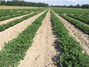Figures 6. Peanut planted May 5 with image recorded June 24.