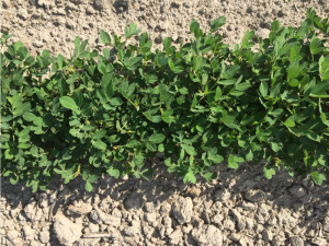 Figures 7. Peanut planted May 5 with image recorded June 24.