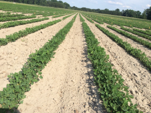 Figures 8. Peanut planted May 18 with image recorded June 24.