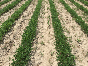 Agent 5. Peanut test plot for Early Post emergent herbicide sprays in peanut.