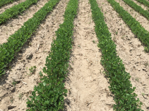 Agent 7. Peanut test plot for Early Post emergent herbicide sprays in peanut.