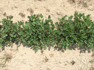 Agent 1. Peanut test plot for Early Post emergent herbicide sprays in peanut.
