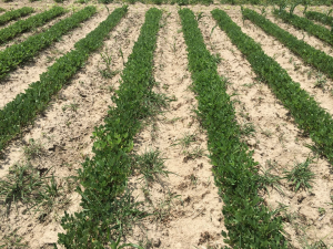 Agent 2. Peanut test plot for Early Post emergent herbicide sprays in peanut.