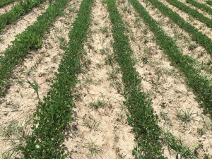 Agent 3. Peanut test plot for Early Post emergent herbicide sprays in peanut.