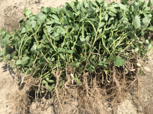 Peanut planted May 27 with images recorded July 22.