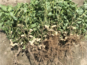 Peanut planted May 5 with images recorded July 22.