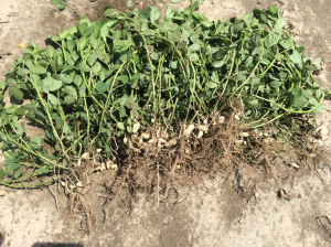 Peanut planted May 18 with images recorded July 22.