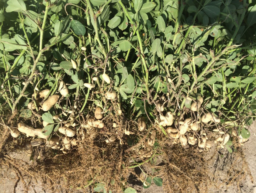 Peanut planted May 5 with images recorded July 30