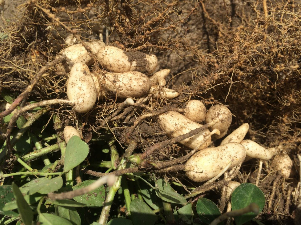 Peanut planted May 18 with images recorded July 30
