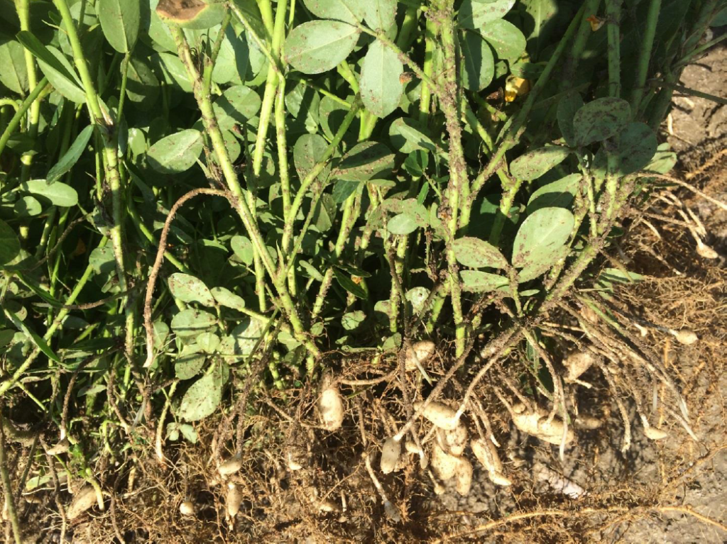 Peanut planted May 27 with images recorded July 30