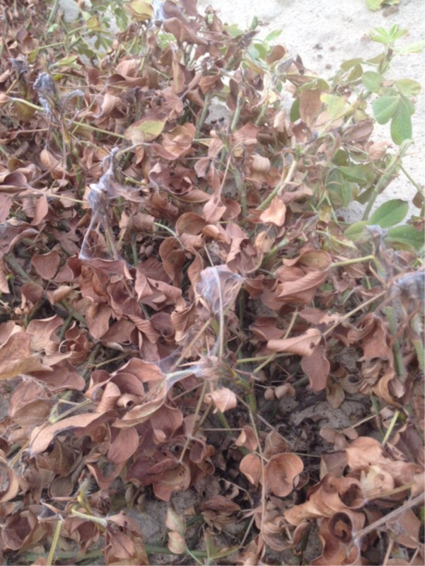 Peanut plant with drought and spider mite damage