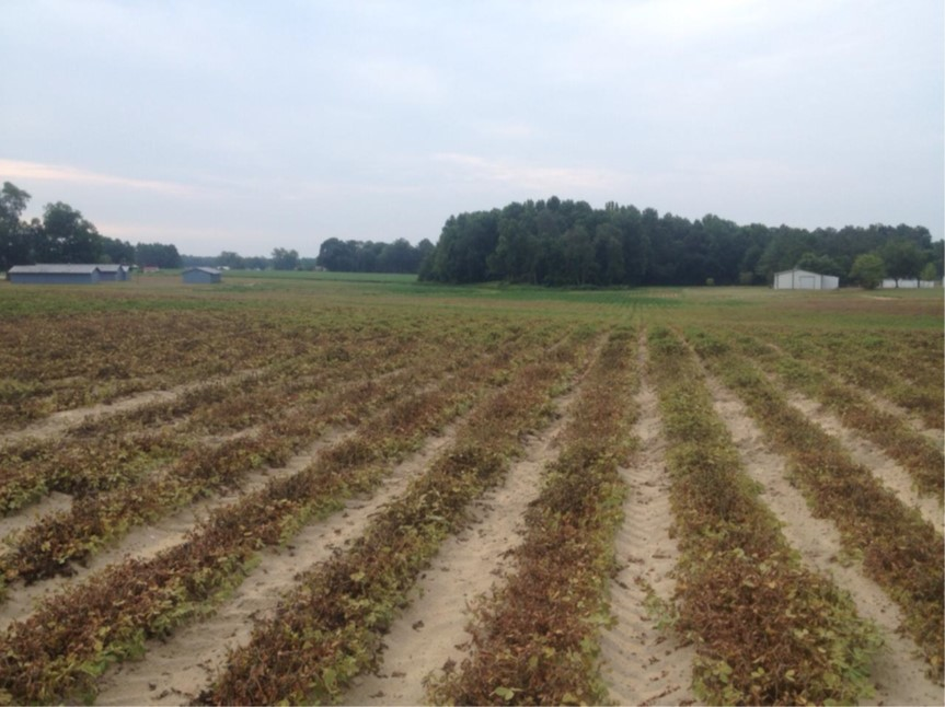 Peanut field with drought and spider mite damage