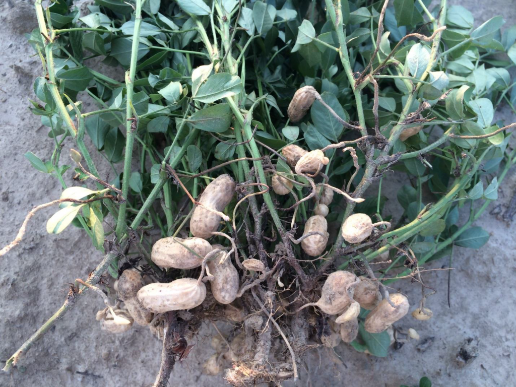 Figures 10. Pod set on plants and vines from Rocky Mount growing under moderate drought stress on August 29