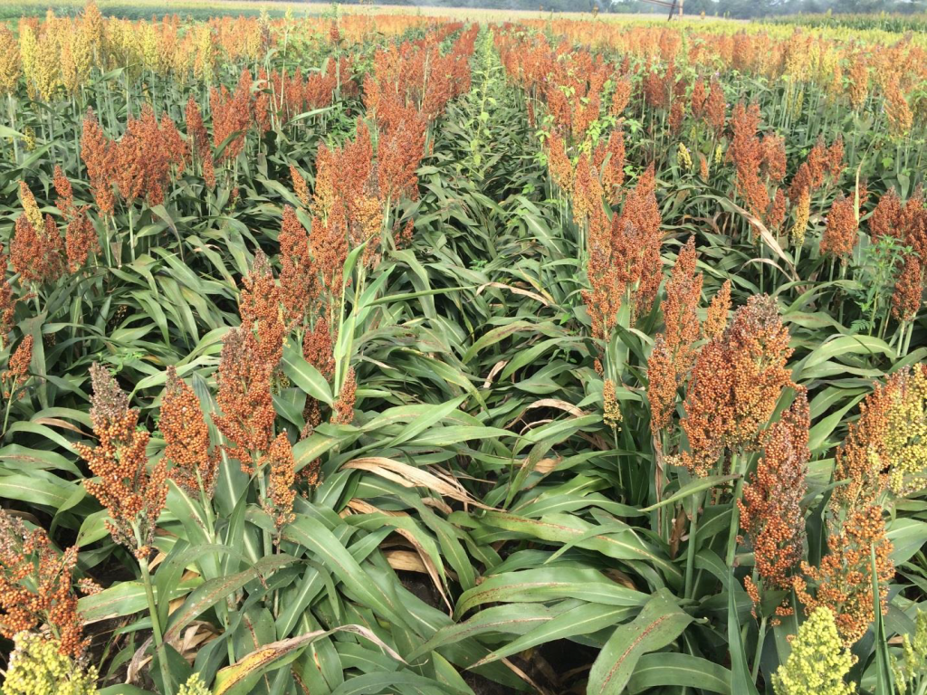 Grain sorghum planted in early and late-May and in late June following wheat