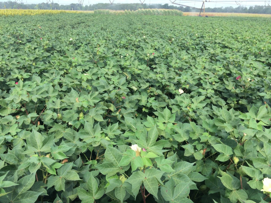 Cotton planted in early and late-May and in late-June following wheat