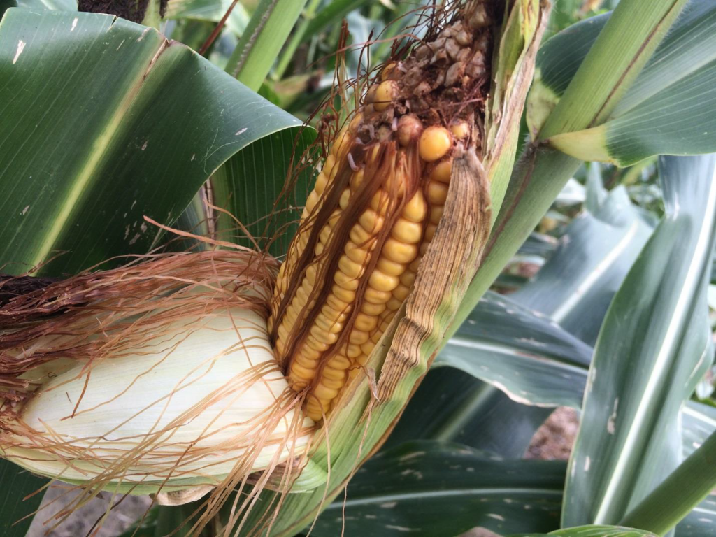 Corn planted in mid-April, mid-May and in late June following wheat
